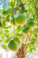 ポメロフルーツファーム
