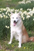 笑顔で座る犬とスイセンの花