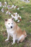 座る犬と桜の花