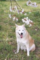 笑顔で座る犬と桜の花
