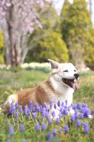 笑顔で伏せている犬と花