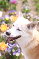 笑顔の犬と春の花