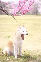 あくびする犬と桃の花