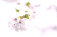 透き通った桜の花