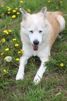 笑顔で伏せている犬とたんぽぽ