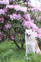 笑顔の犬とシャクナゲの花
