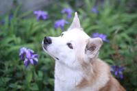 見上げる犬と菖蒲の花