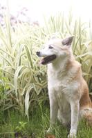 笑顔の犬とハチジョウススキ