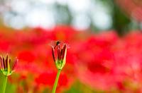 ヒガンバナのお花畑に住むトンボ