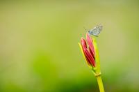 ヒガンバナのお花畑に住むシジミチョウ