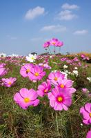 コスモスのお花畑と青空