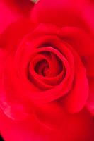 赤いバラのキッス