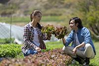 サニーレタスを収穫する若い男女