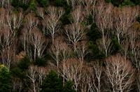 志賀高原・冬枯れのダケカンバ林