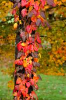 真紅のツタの葉の紅葉