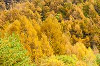 黄金のカラマツ林