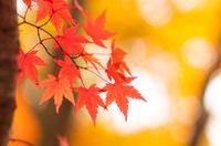 富士北麓公園の紅葉