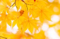 富士北麓公園の黄葉