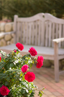 庭の片隅の秋バラ