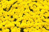 黄色い菊の花のクローズアップ