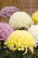 菊まつりの菊の花