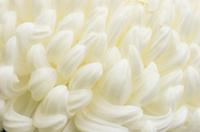 白い菊の花のクローズアップ