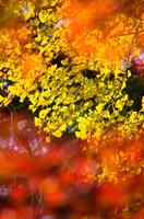 鮮やかなイチョウの黄葉