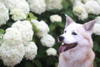 笑顔の犬とアジサイの花