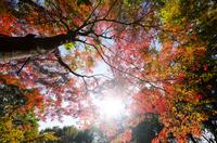 輝く紅葉の森