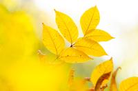 ささやくような黄葉