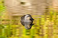 黄葉映える水面の鴨