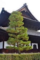 建仁寺の松