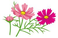 コスモス 花と蕾 フラット