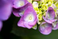 ピンク色の紫陽花