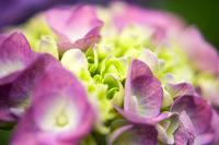 ブーケのようなピンク色の紫陽花
