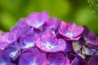 赤紫色の紫陽花