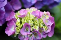 ブーケのような薄いピンク色の紫陽花
