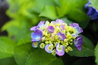 ブーケのような薄い青紫の紫陽花