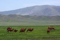 放牧中の家畜