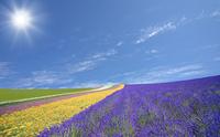 ラベンダー畑と雲と太陽