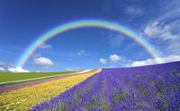 ラベンダー畑と雲と虹