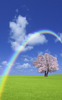 草原の桜の木と虹