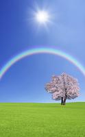 草原の桜の木と雲と虹