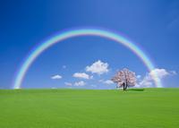 丘とサクラの木と虹