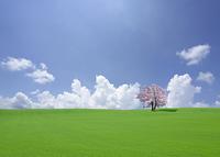 丘とサクラの木