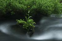 渓流とサワオグルマソウ