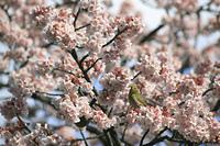 寒桜とめじろ