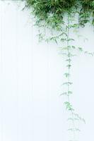 白い壁の蔓草