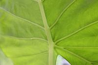 クワズイモの葉