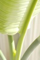 タビビトノキの葉